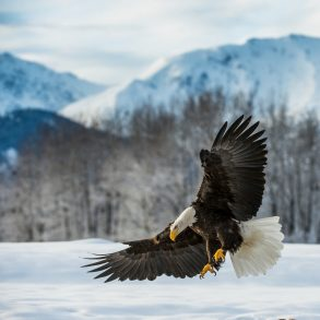 Where to See Bald Eagles in PA